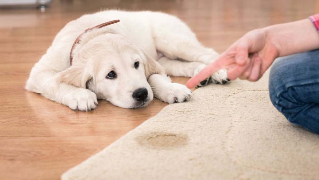 how to remove dog pee stains and odors